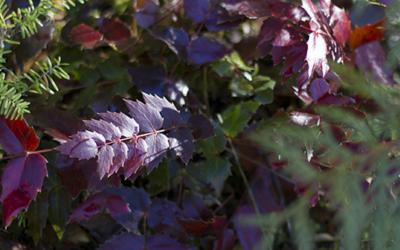 Foraging: Oregon Grape