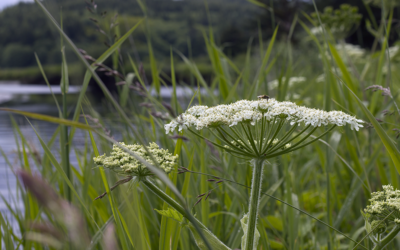 Foraging: Angelica Root