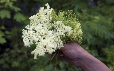 Foraging: Elderberry Flower